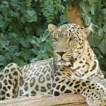 Leopárdokkal népesítenék be a Kaukázust
