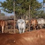 Szemeket festenek a marhák hátsójára, hogy megvédjék őket az oroszlánoktól