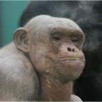 Váratlanul elpusztult az angliai állatkert egyik híressé vált szőrtelen csimpánza