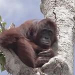 Kétségbeesetten kapaszkodott az utolsó megmaradt fába az orangután, miután elpusztították az otthonát