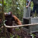 Erdőtüzekből kimenekített orangutánokat juttattak vissza a vadonba