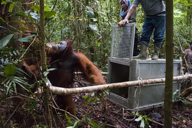 orangutan-4