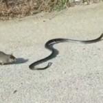 Egy kígyóval küzdött meg a patkány, hogy megmentse a kölykét