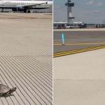 Teknősök tartják fel a forgalmat a Kennedy Repülőtéren