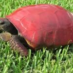 Felszólították a floridaikat, hogy ne fessék színesre a teknősök páncélját