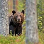 Húsz barnamedvét akarnak kilőni a Magas-Tátrában