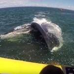 Elképesztő találkozás egy hatalmas barázdás bálnával