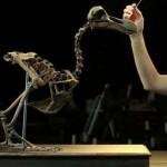 Egy csaknem teljes dodócsontvázhoz lehet hozzájutni egy angliai árverésen