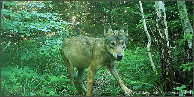 farkasok-3