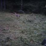 Photo: Békésen játszadozó farkaskölyköket örökített meg az Aggteleki kameracsapda