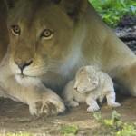 A látogatók előtt jött világra egy fehér oroszlánkölyök a Nyíregyházi Állatparkban
