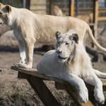 Photo: A látogatók előtt jött világra egy fehér oroszlánkölyök a Nyíregyházi Állatparkban