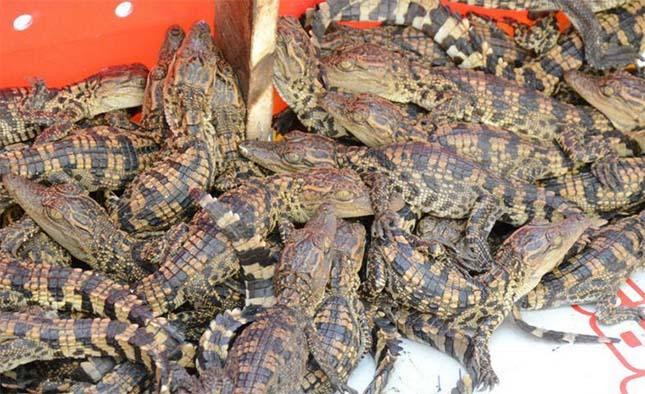 krokodil-5