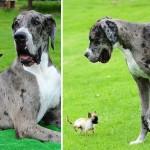 Összebarátkozott egymással a világ egyik legnagyobb és legkisebb kutyája