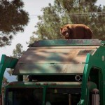 Kilométereken át utazott egy kukásautó tetején az éhes medve