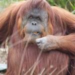 Saját kislemezt adott ki egy szumátrai orangután