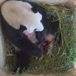 Pandabocs született a bécsi állatkertben