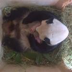Valójában két pandabocs született a bécsi állatkertben