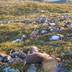 Villámok öltek meg több száz rénszarvast Norvégiában