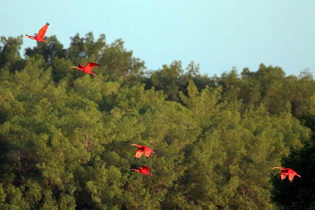 skarlat-ibisz-1