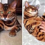 Thor, a különleges bengáli macska a cicarajongók új kedvence