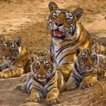 Elpusztult India leghíresebb tigrise, fajának legidősebb vadon élő példánya