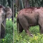 """""""Kardfogú"""" törpeelefántot találtak Malajziában"""