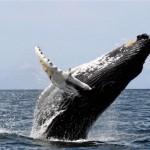 Megmenekülhetnek a hosszúszárnyú bálnák