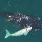 Ritka, fehér bálnaborjút filmeztek le Ausztráliában