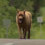 Mindennap begyalogol a városba az idős kutya, hogy üdvözölje a lakosokat