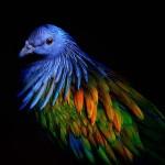 A sörényes galamb – színpompás madár a dodó legközelebbi élő rokona