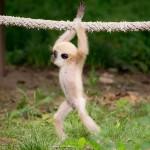 Csimpaszkodni tanul a Nyíregyházi Állatpark kis gibbonja
