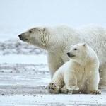 Jegesmedvék tartottak fogságban két héten át öt orosz kutatót