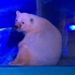 Kiszabadulhat a bevásárlóközpontban mutogatott jegesmedve