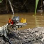 Kajmánkönnyre szomjazó pillangókat örökítettek meg az Amazonasnál