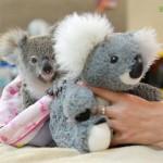 Plüssállattal vigasztalódik az árván maradt koalakölyök