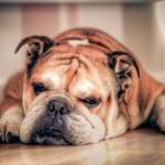 Photo: Óva intenek a szakértők a nyomott orrú kutyafajtáktól