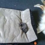 Kutyák, akiket csúnyán kitúrtak a helyükről az ágyfoglaló cicák