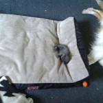 Photo: Kutyák, akiket csúnyán kitúrtak a helyükről az ágyfoglaló cicák