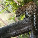 Észak-kínai leopárd érkezett a Debreceni Állatkertbe