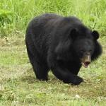 Megfutamított egy rátámadó medvét az idős karatemester