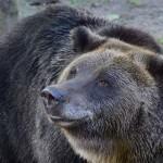 Világháborús aknagránáttal játszott egy állatkerti medve