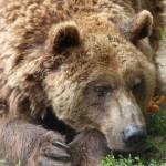 Rossz körülmények közül kimentett medvék érkeztek a Veresegyházi Medveotthonba