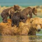 Szívmelengető fotók – bepillantás a medvecsaládok életébe