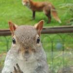 Különös páros – mindig együtt tűnik fel az angol férfi házánál a róka és a mókus