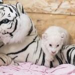 Mesterségesen etetik a Nyíregyházi Állatparkban született fehér oroszlán kölyköt