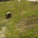 Naphosszat képes bukfencezni a játékos pandabocs