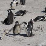 Keresik a pápaszemes pingvint, melyet állatvédők loptak el egy állatkertből