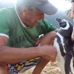 Photo: Minden évben több ezer kilométert utazik a pingvin, hogy meglátogassa a megmentőjét