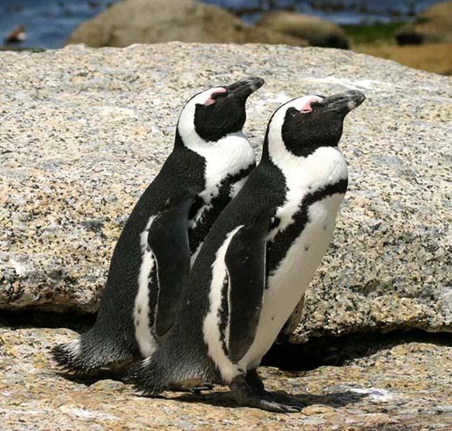 pingvin-4